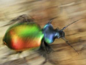 scarabeo colorato 300x227 pixel