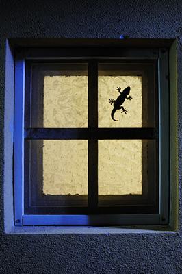 Moorish gecko, Tarentula mauritanica, on walls, PisaA Tarentola mauritanica in search of insects on a window