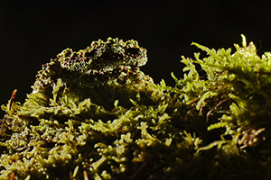 Theloderma_corticale_24_resize 300x200 pixel