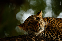 Skye Meaker - Wildlife Photographer of the Year 250x167 pixel