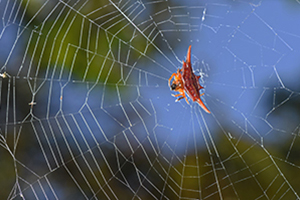 Gasteracantha_veriscolor_6_resize 300x200 pixel