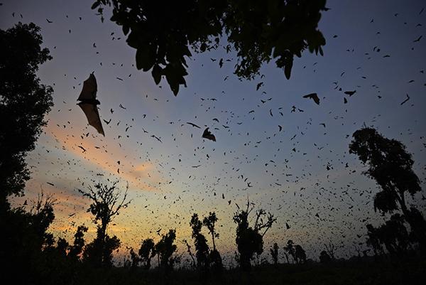 Zambia_bats_02 - 600x401 pixel