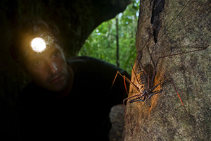 Tailess whipscorpion, heterophrynus, in caves in rainforest, Presidente Figueiredo, Amazon , Brazil