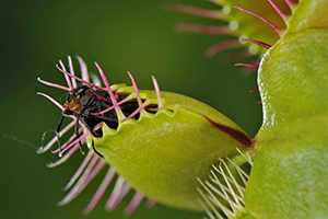 Venus flytrap, Dionaea muscipula, with trapped fly