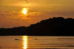 Amazon river dolphins, Inia geoffrensis, awimming at sunset. Rio negro, brasil