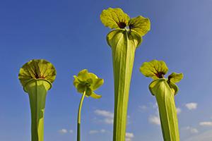 Pitcher plant, Sarracenia flava