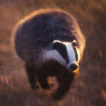 1996 – Jason Venus – Badger running – United Kingdom