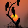 Dhyey Shah – Black kites, red sunset