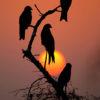 Dhyey Shah – Black kites, red sunset
