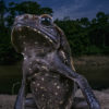 Jaime Culebras – Toad with attidude