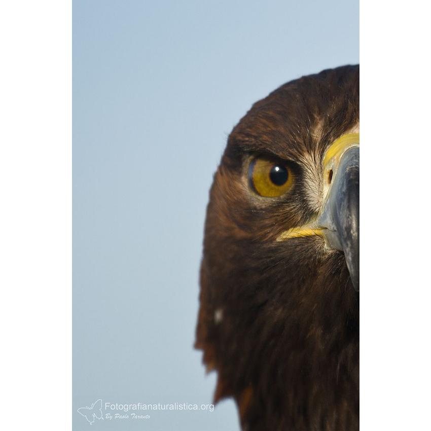 03 Aquila reale 850×850 pixel