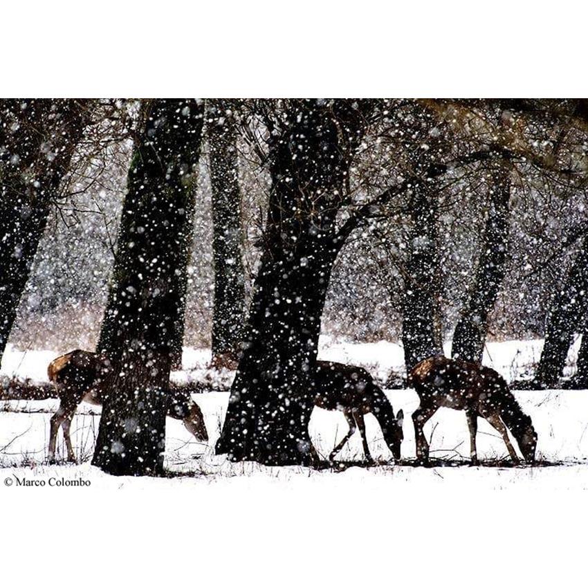 07 Cerve sotto la nevicata 850×850 pixel