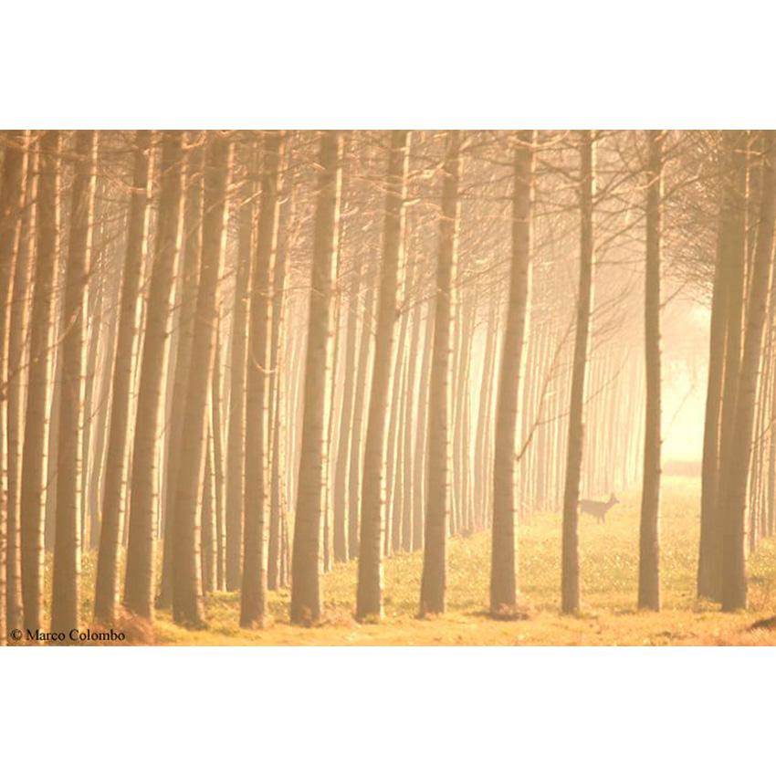 10 Alba nel pioppeto 850×850 pixel