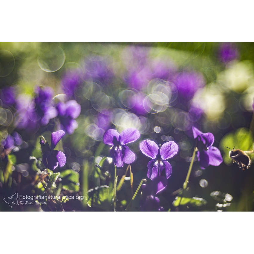 19 Viola selvatica 850×850 pixel