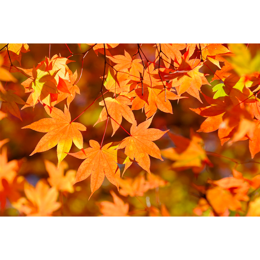 Foliage nipponico 22