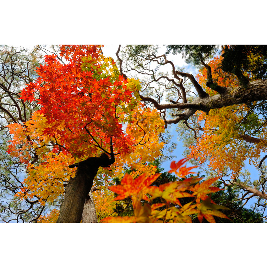 Foliage nipponico 52